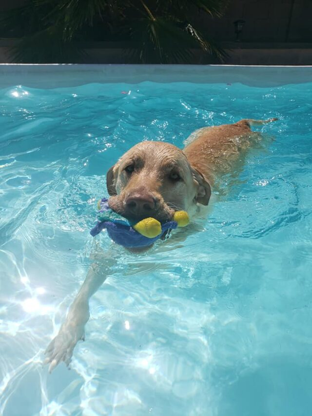 Lab playing fetch in pool