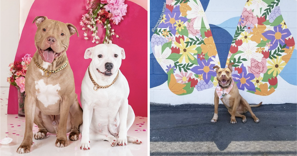 Pit Bull influencers