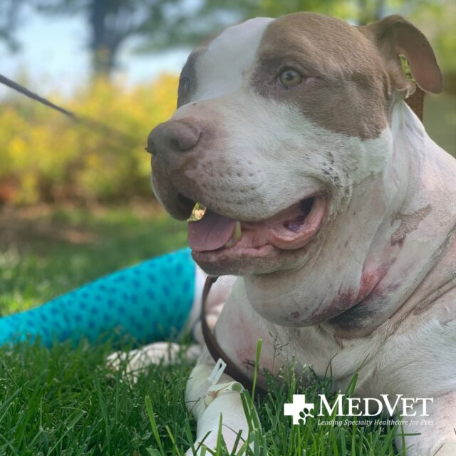 Pit Bull Recovers From Surgery