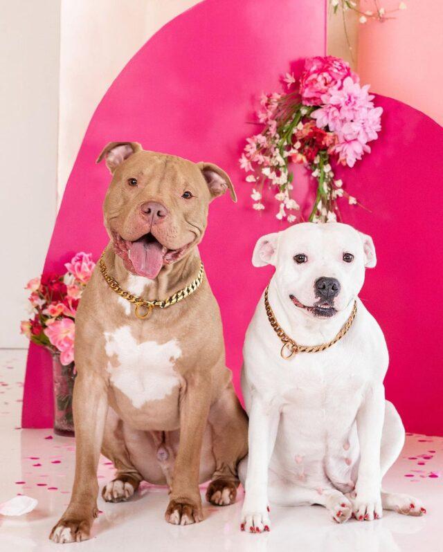 Pit Bull Valentine's Day