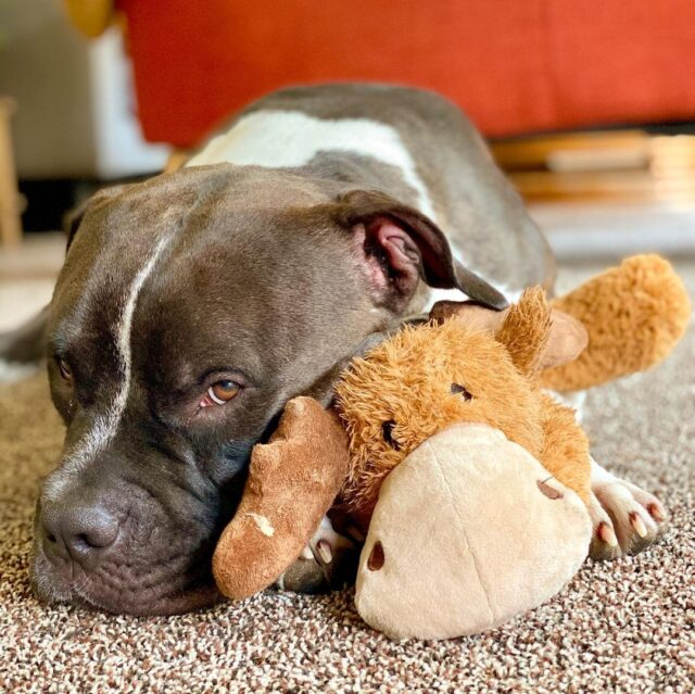 Pit Bull and stuffed animal