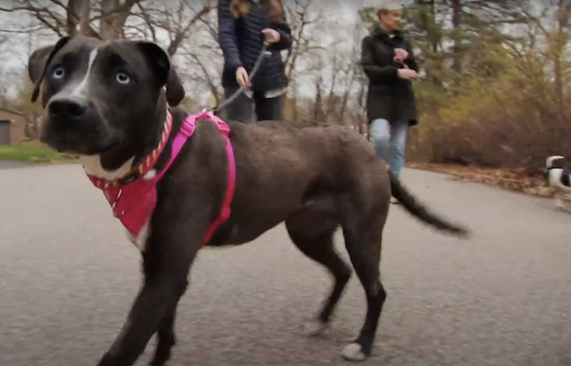 Pit Bull walking with forever family
