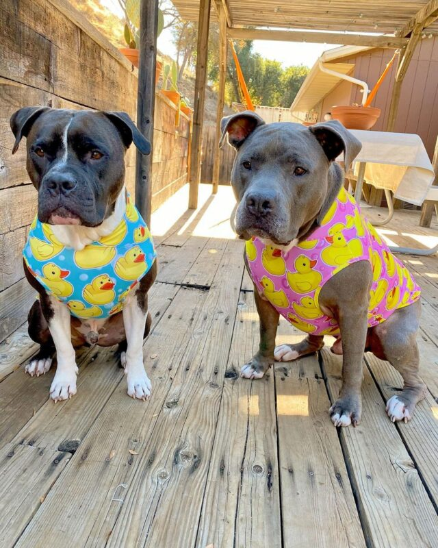 Pit Bulls in ducky pajamas