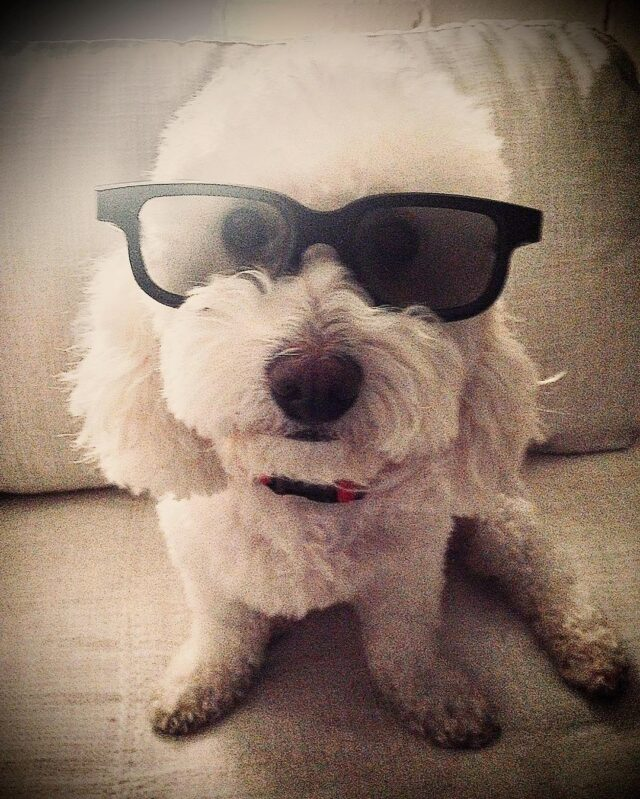 Poodle wearing sunglasses
