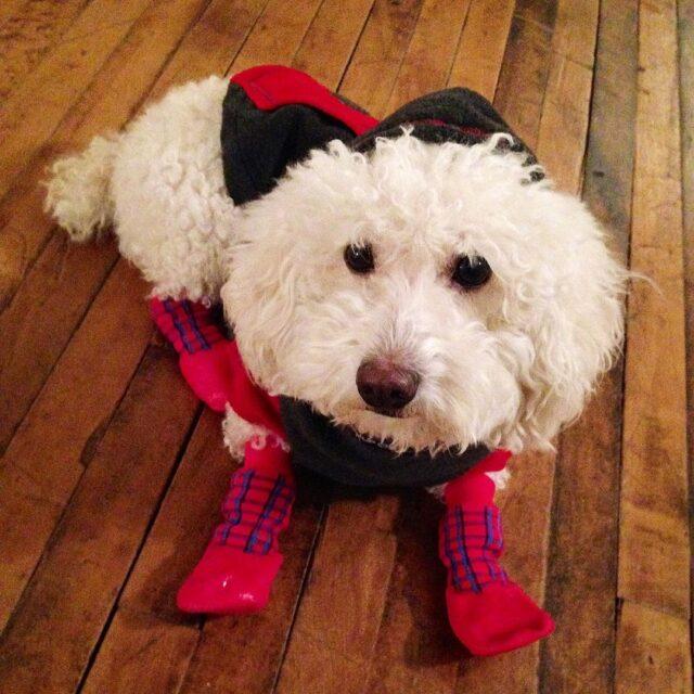 Poodle winter gear