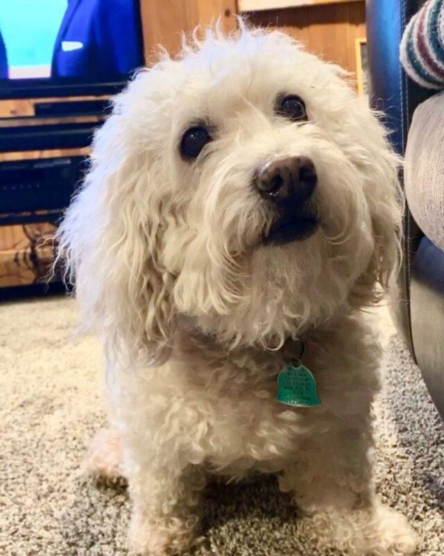 Toy Poodle dies at Petsmart
