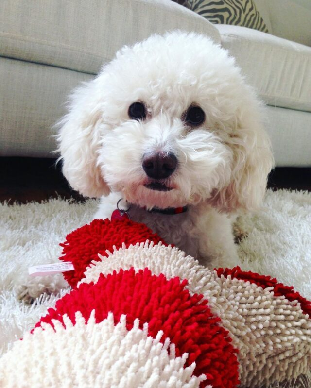 Toy Poodle Playing with Dog Toy