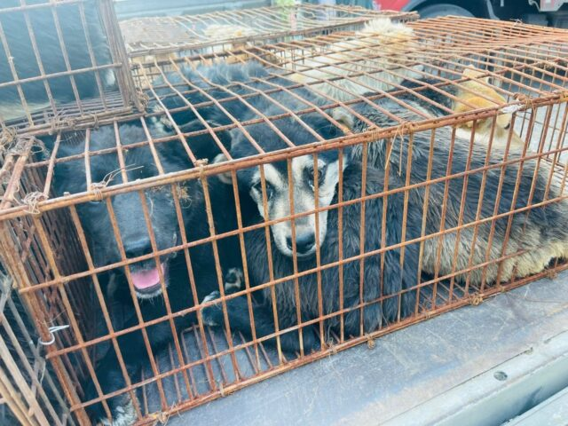 68 Dogs Saved from Yulin Meat Festival