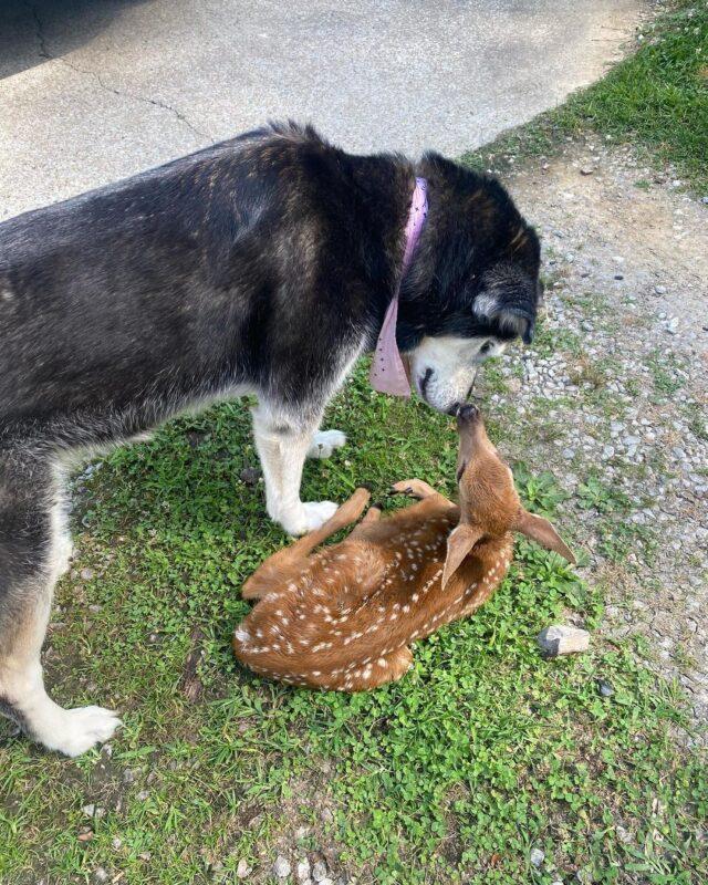 Dog sniffing deer