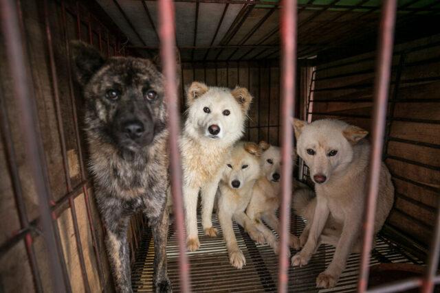 Dogs Yulin Meat Festival