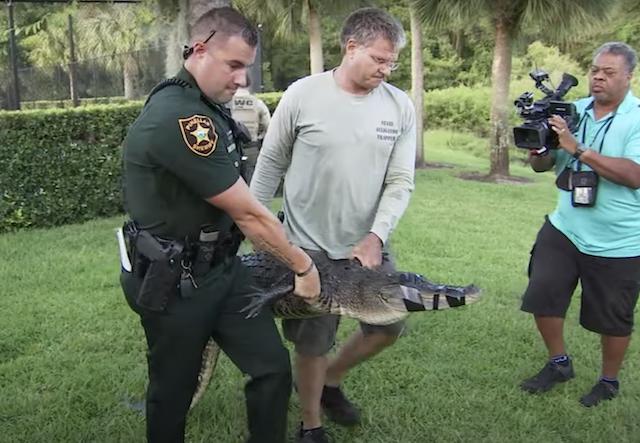 Officials capturing alligator