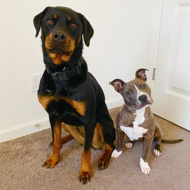 Pit Bull and Rottweiler buddies