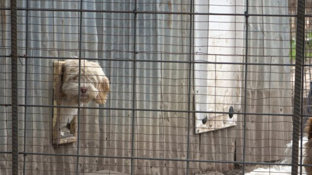 Sad puppy mill dog