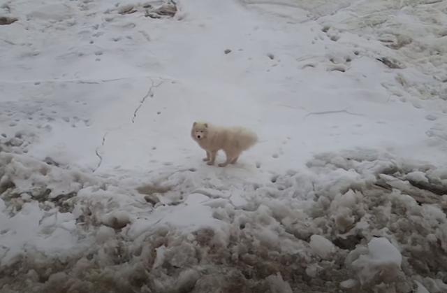 Samoyed stranded on ice