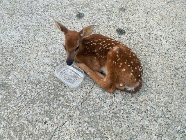 Sick deer in driveway