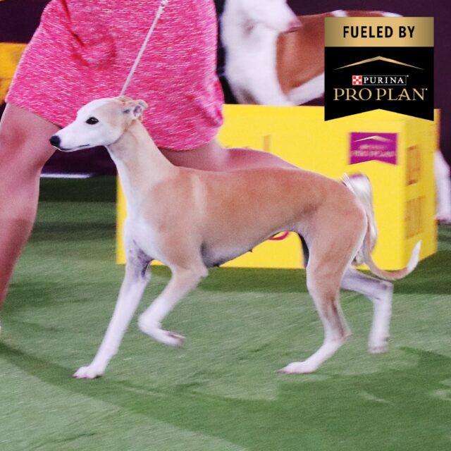 Westminster Dog Show Whippet runner-up