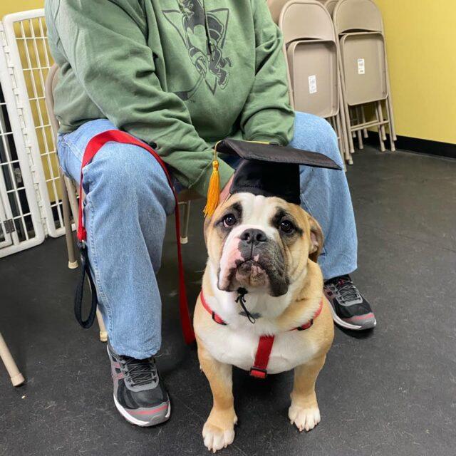 Bulldog graduates puppy school