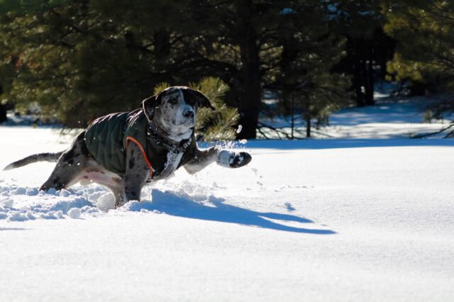 Catahoula puppy in snow