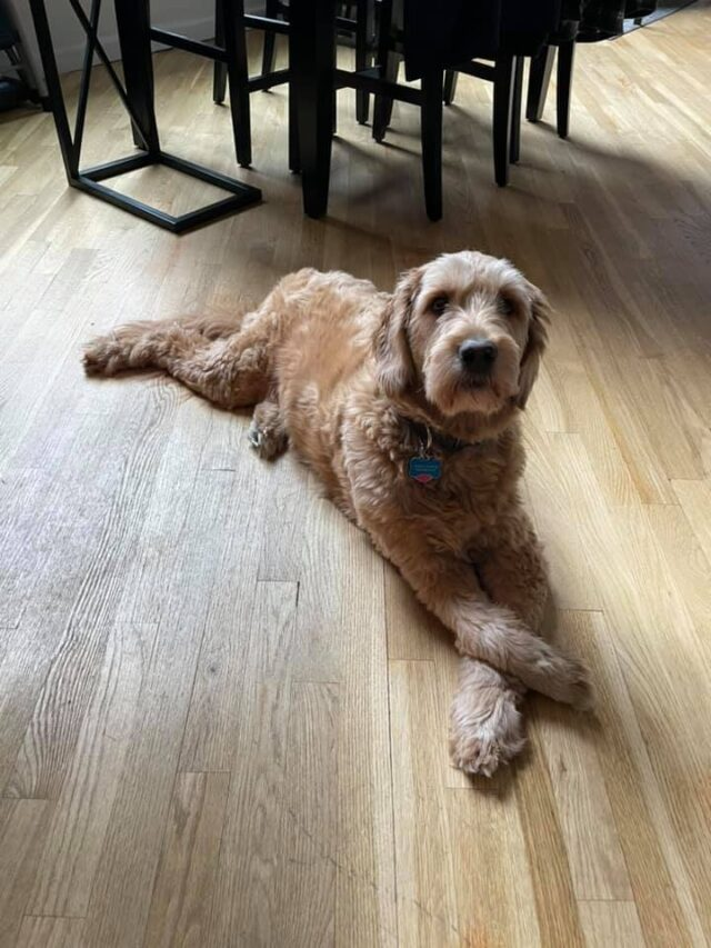 Goldendoodle passed away in pet sitter's care