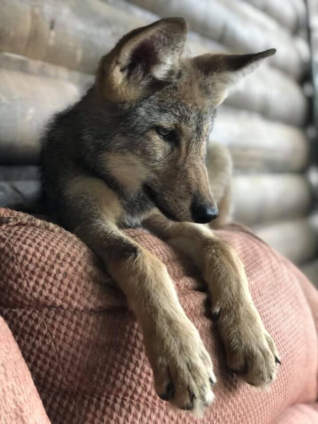 Growing Wolf Puppy