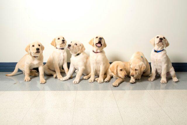 Happy Lab Puppies