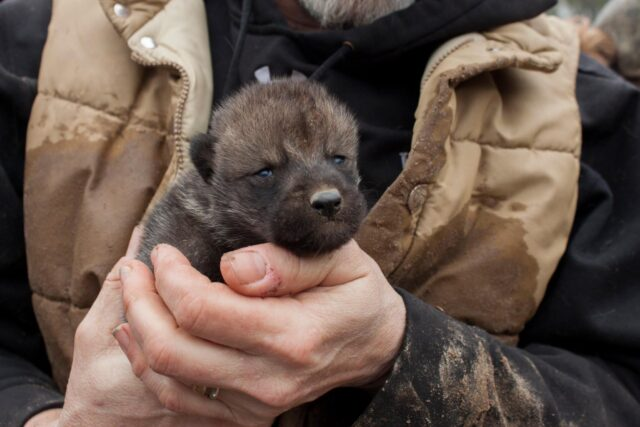 Human holding wolf puppy
