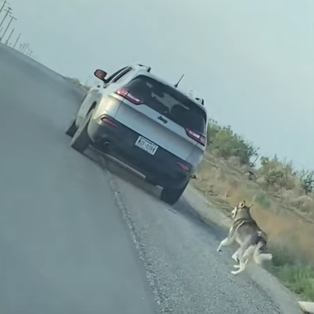 Husky chasing car