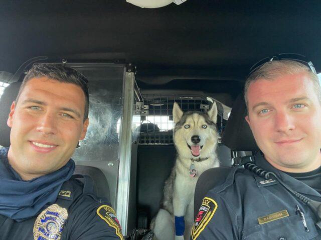 Husky in police car