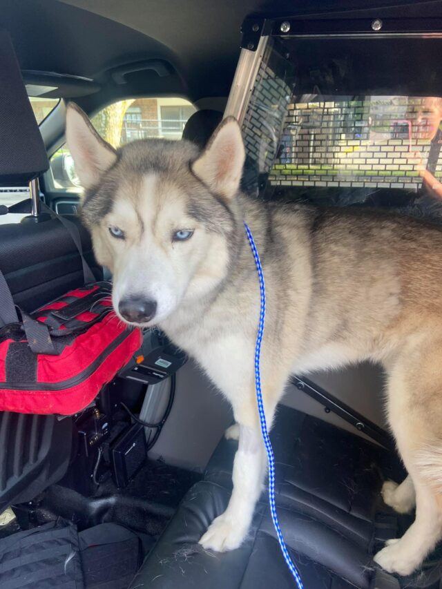 Husky in vehicle