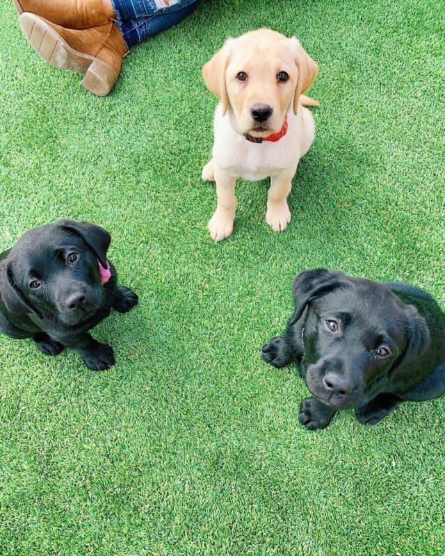 Lab Puppies in Training