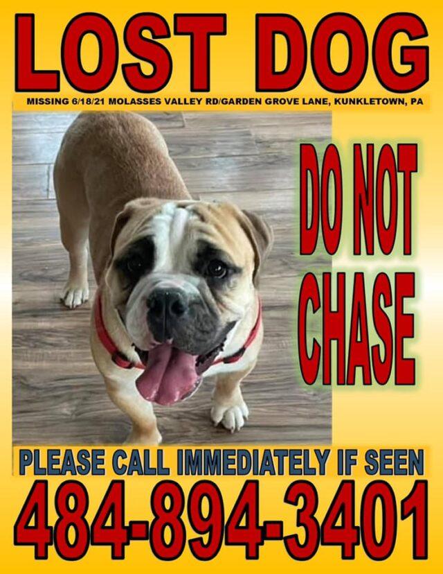 Lost Bulldog Puppy
