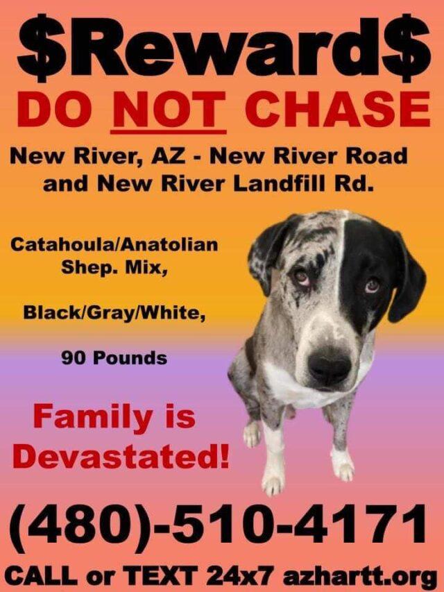 Lost Catahoula puppy