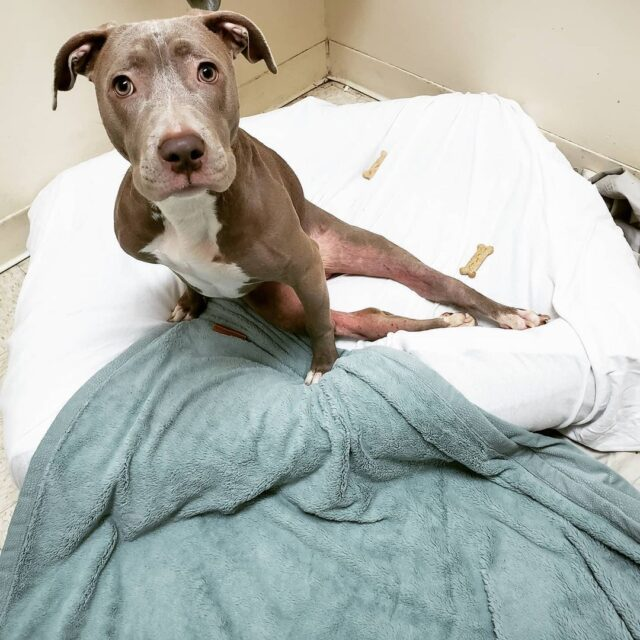 Paralyzed Pit Bull puppy