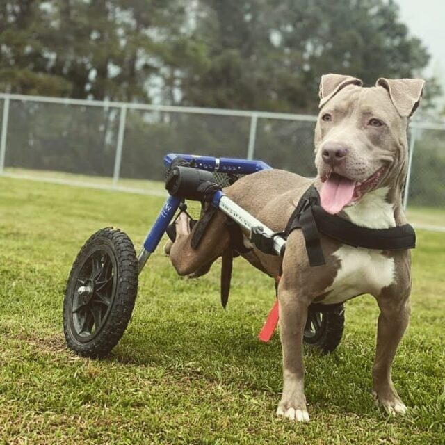 Paralyzed pup gets wheelchair