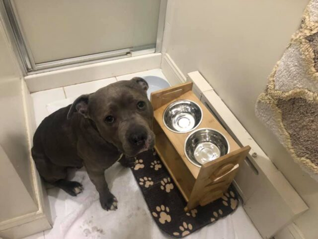 Pit Bull special food bowls