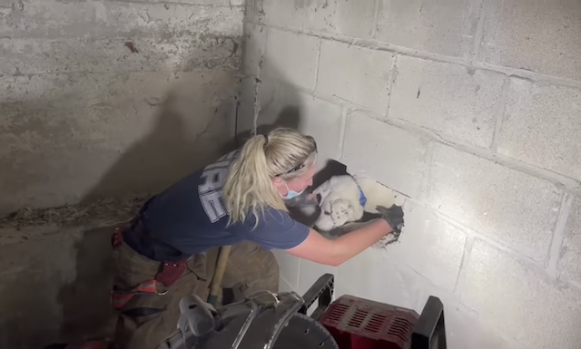 Pulling dog out of wall