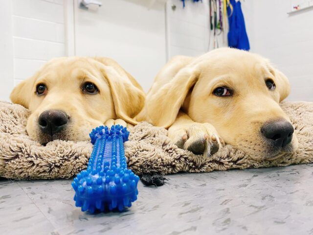 Puppies relaxing by toy