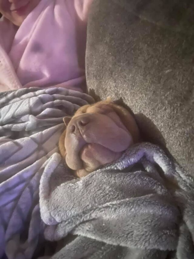 Shar Pei cuddling
