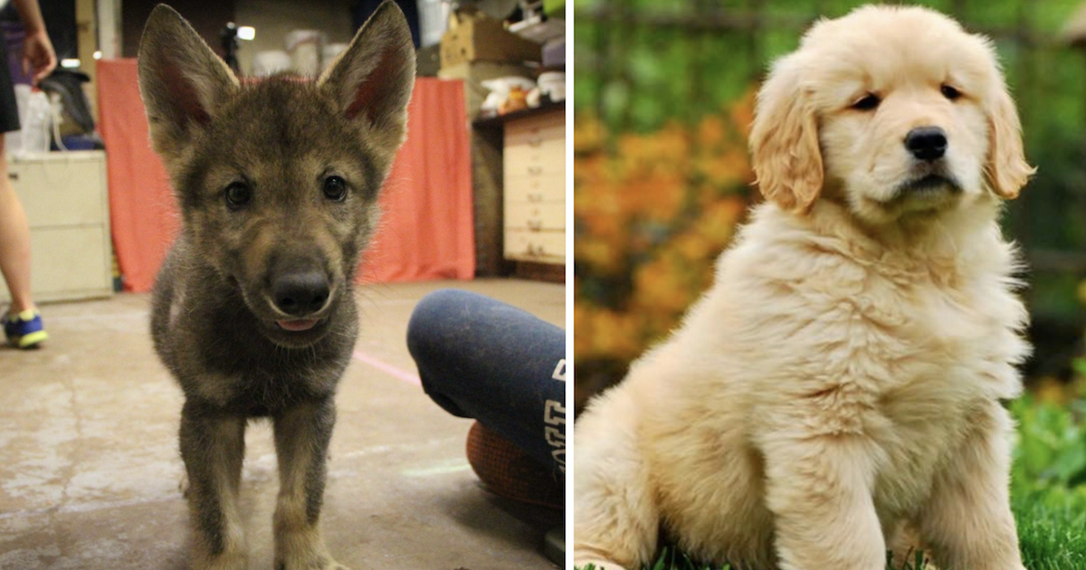 Wolf and Dog Puppies