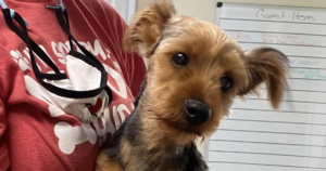 Yorkie thrown into puddle
