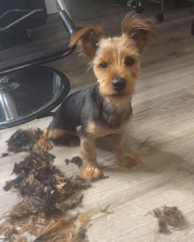 Yorkie puppy fresh haircut