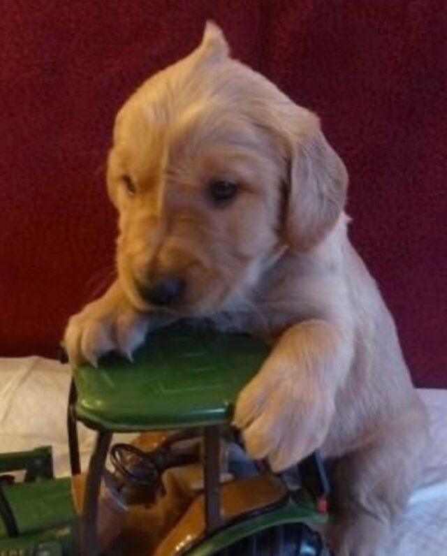 Alfalfa cowlick as puppy