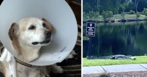 Alligator bites dog's tail off