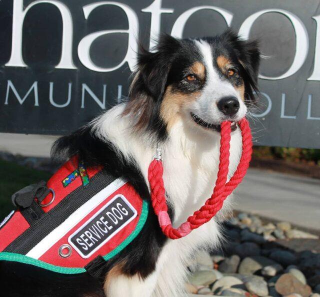 Australian Shepherd service dog