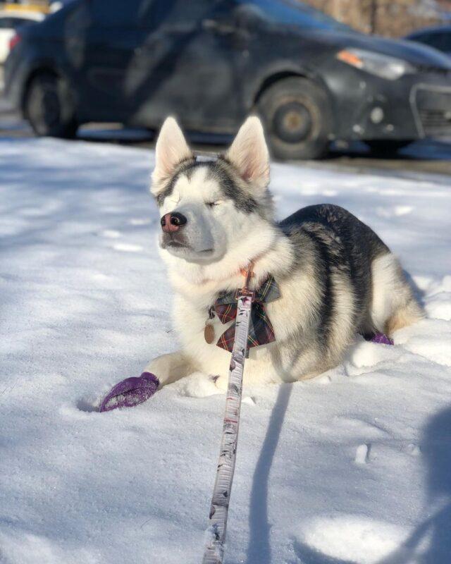 Blind Husky in the Snow