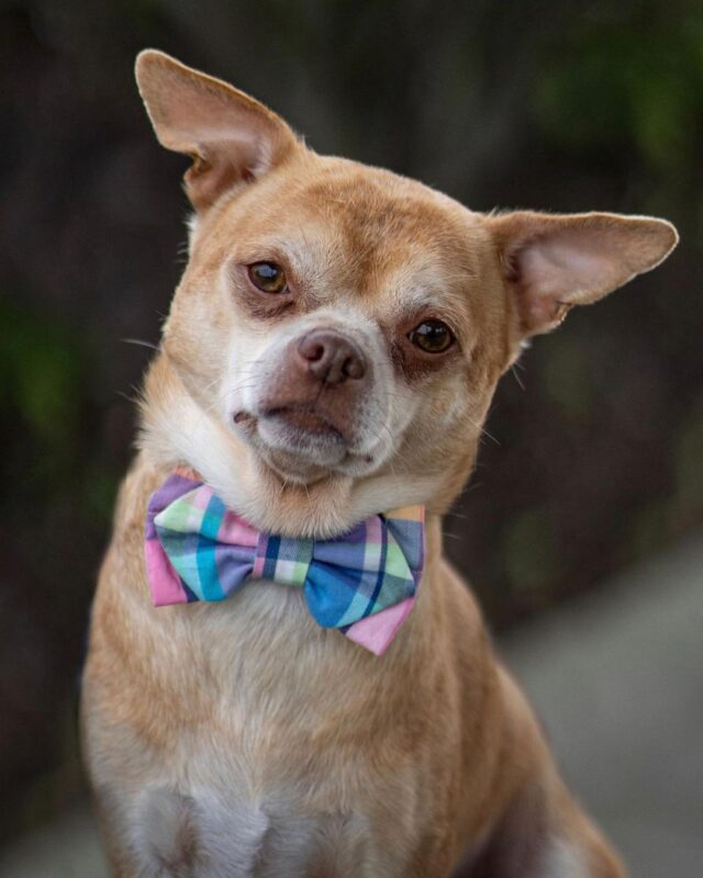 Chihuahua wearing bowtie