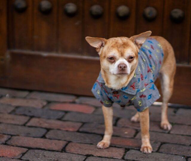 Chihuahua wearing shirt