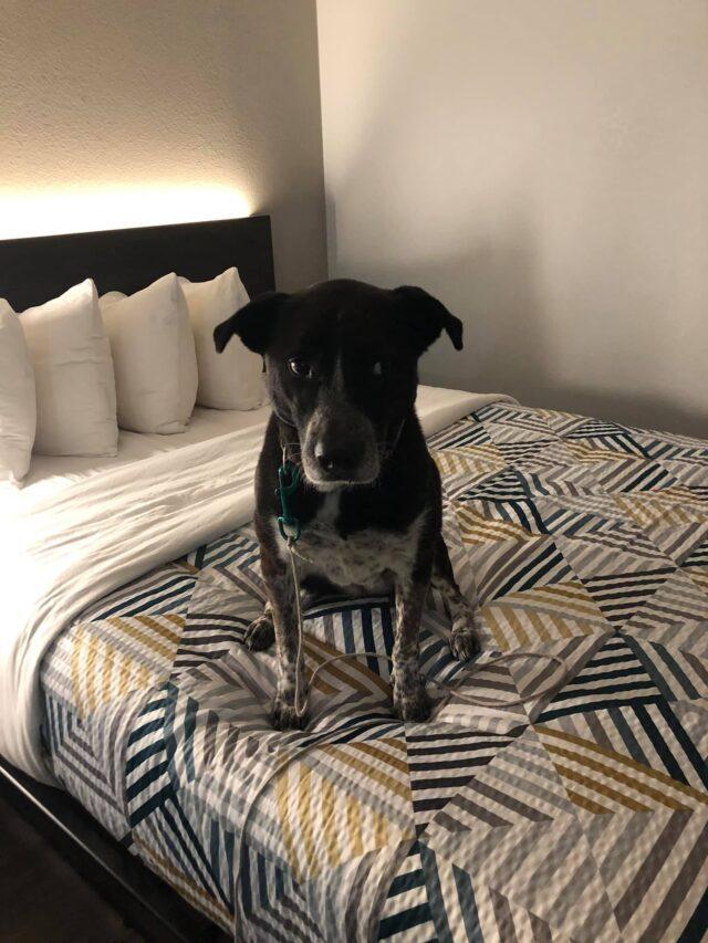 Dog in hotel room