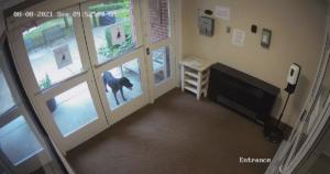 Dog runs to work
