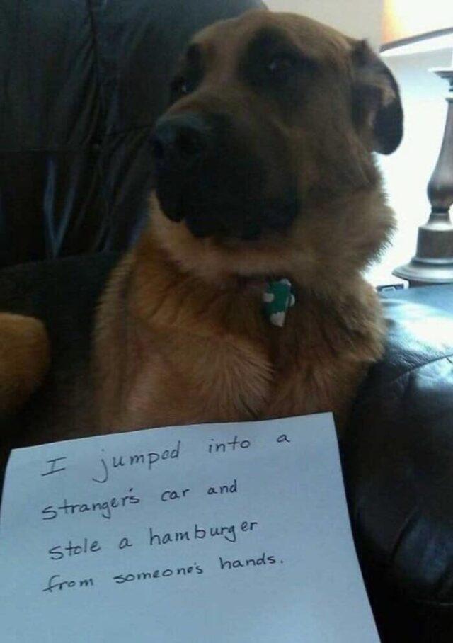 Dog steals hamburger